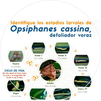 Infografía Identifique los estadios larvales de Opsiphanes cassina, defoliador voraz