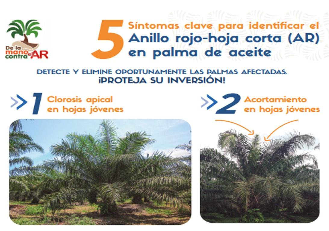 Infografía 5 síntomas clave para identificar el Anillo rojo-hoja corta en palma de aceite