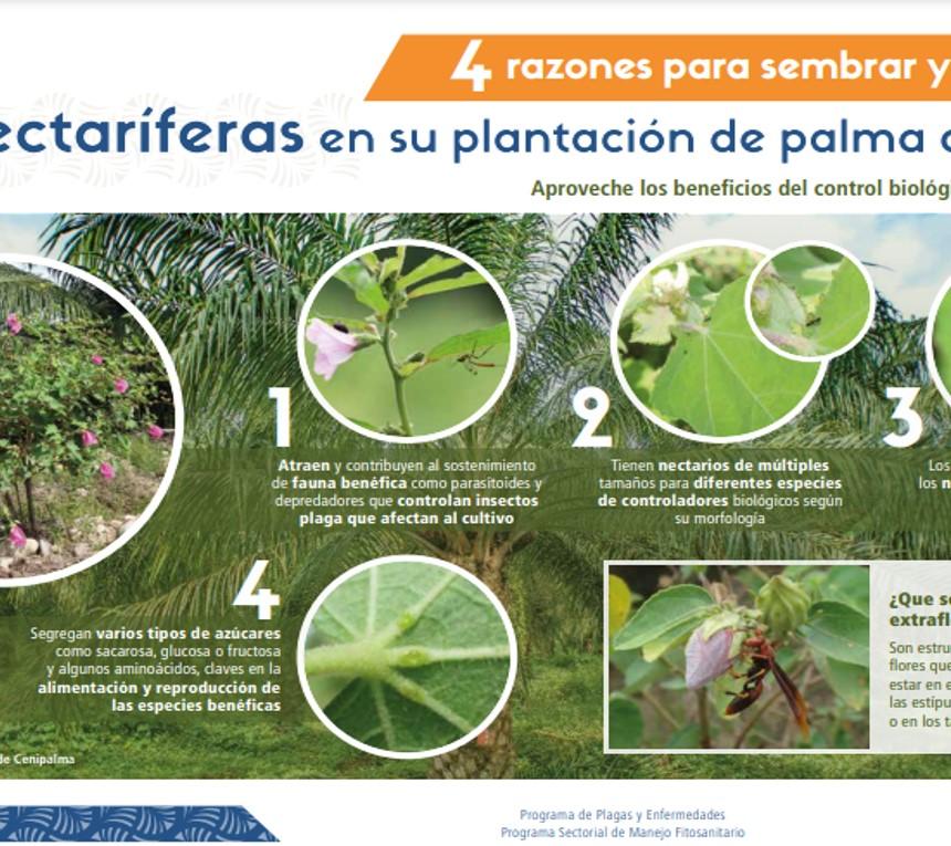 4 razones para sembrar y mantener nectaríferas en su plantación de palma de aceite