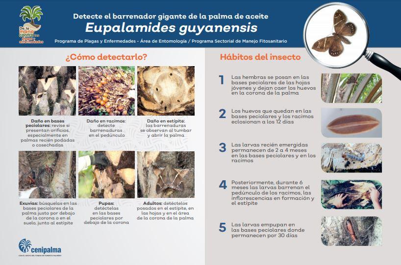 Infografía Eupalamides Guyanensis